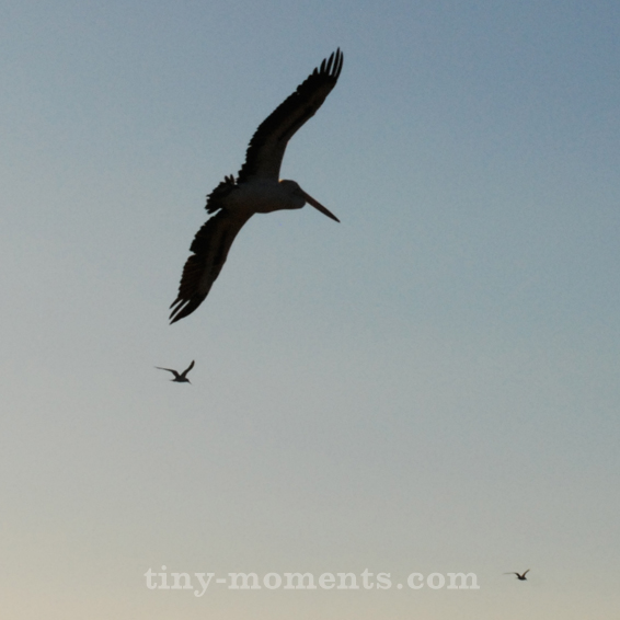 Pelican Bribie Island
